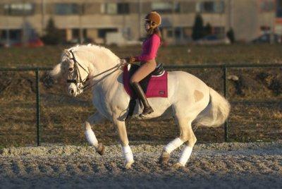 Le fjord un cheval de cirque ? (2)