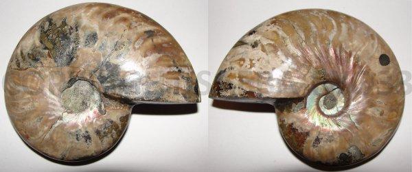 Les fossiles partie 7