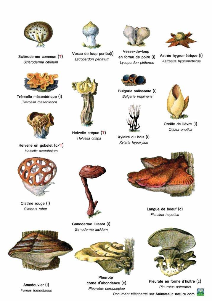 Reconnaître quelques champignons