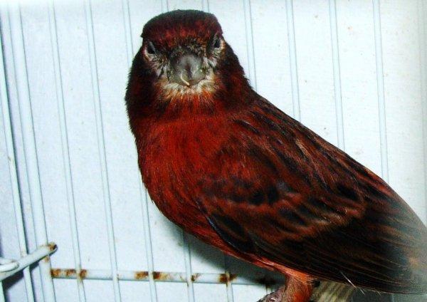 MIS PRIMEROS CANARIOS: El negro rojo inenso y nevado