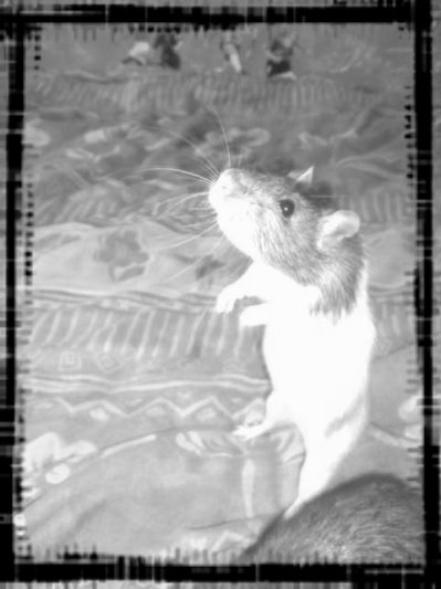 oh un rat =D