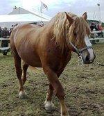 RACE : Zoom sur le cheval lourd Lituanien, en danger de mort.