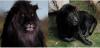 Le dernier lion noir sur Terre, Peut il atteindre 100 Kiffs?