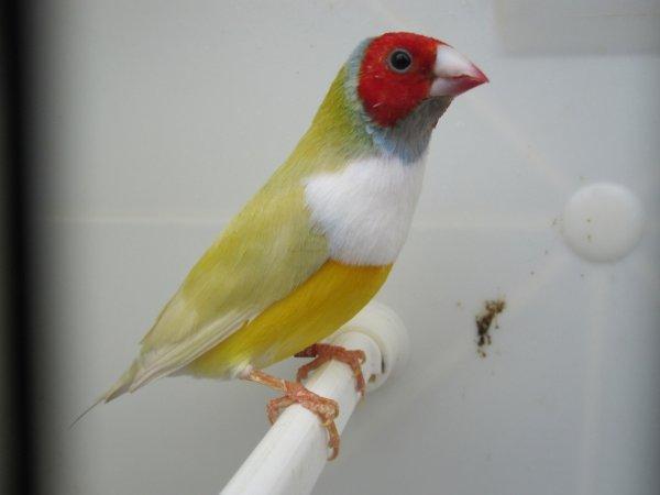 gould mâle  jaune tr pb