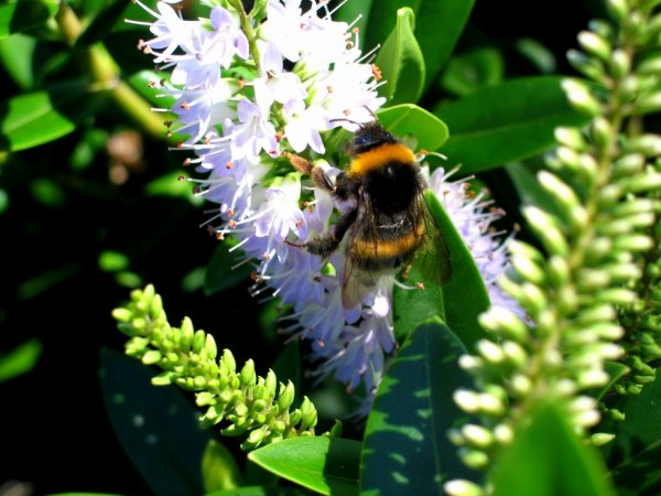 abeille sur fleurs 2