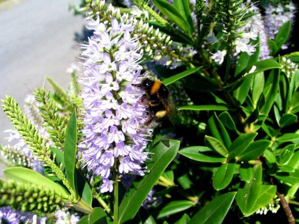 abeilles sur fleurs 1