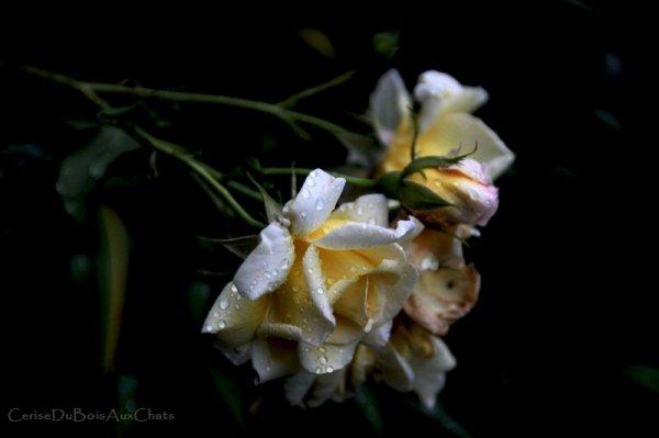 Le Crépuscule des Roses