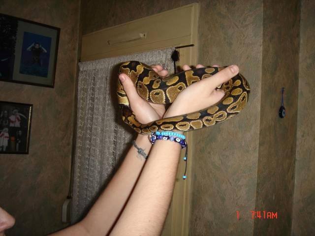 Python royal vs Boa constrictor