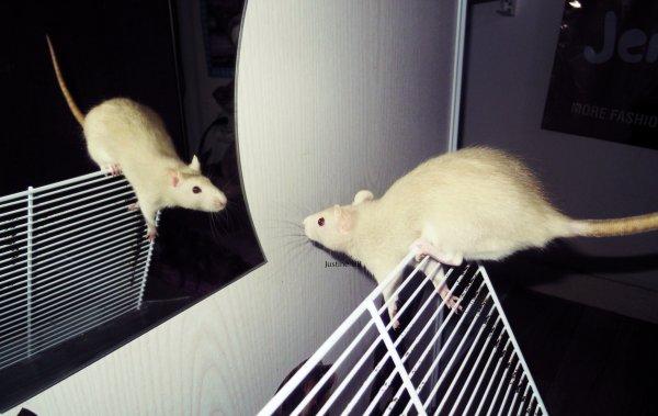 """• """"Si les rats pesaient 20 kilos, ils seraient les maîtres du monde..."""" A.Einstein."""