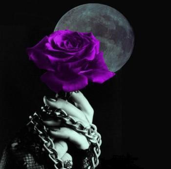 ma rose violet