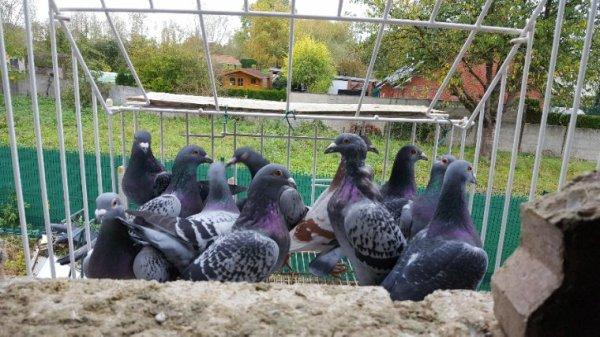 Vend pigeons 2017