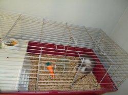 nouvelles fotos de champion des lapinous de liliane adopteée par laura nomé mérlin a 2 moi 1/2