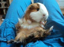nouvelle fotos de prinsese cochondinde des lapinous de liliane adopteé par isabelle