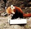 Devenir un Panda Roux