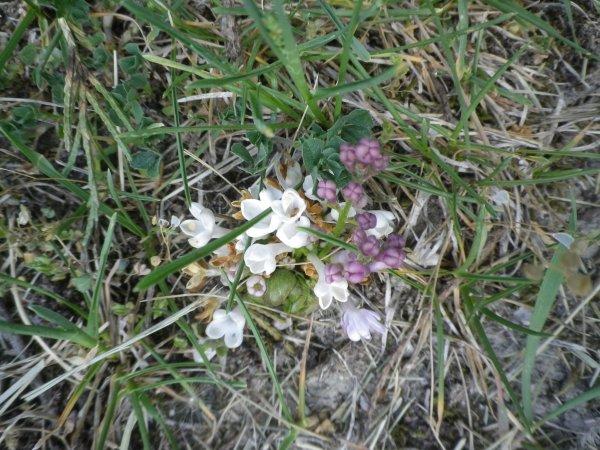 Le petit lilas qui ne voulait pas mourir
