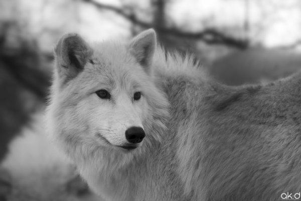 Snow Wolf - Part 7