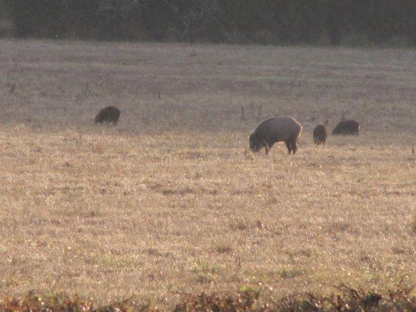 les petits cochons ....