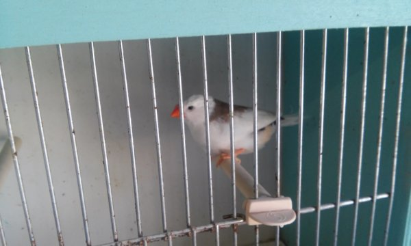 mandarin 2015 selle gris male