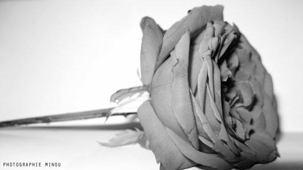 la jolie rose  triste