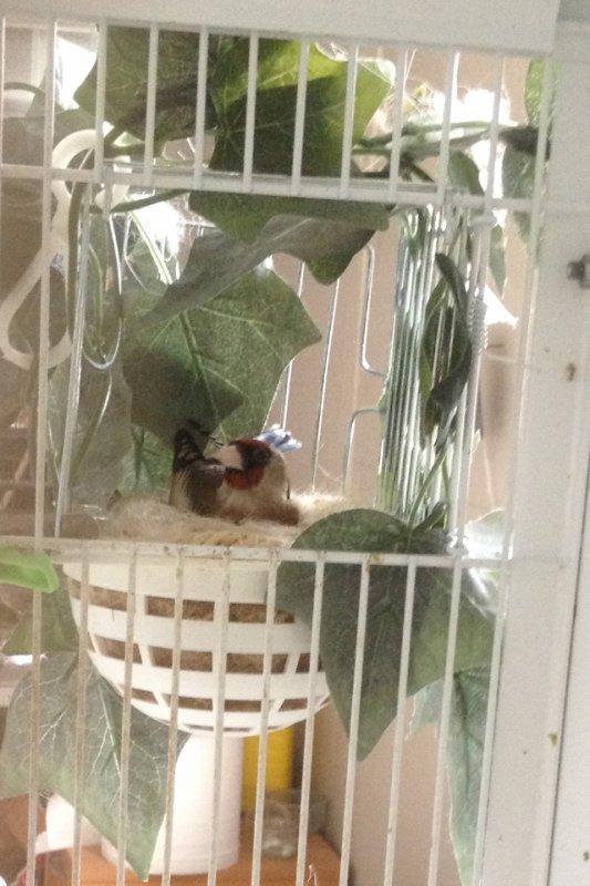 Femelle parva au nid /male eumo
