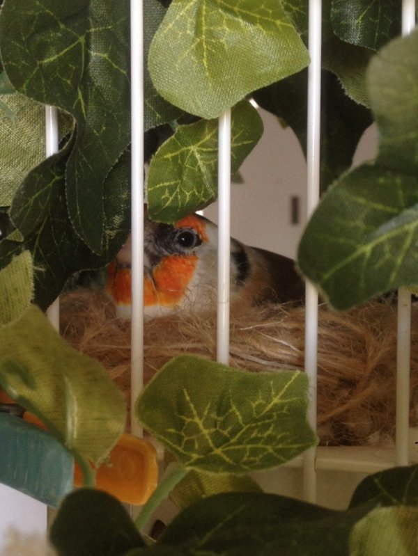 Femelle au nid