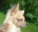 Photo de toilettage-blue-dog