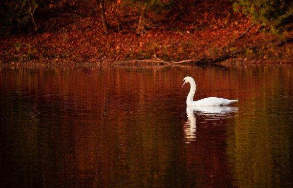 Les cygnes de l'automne.