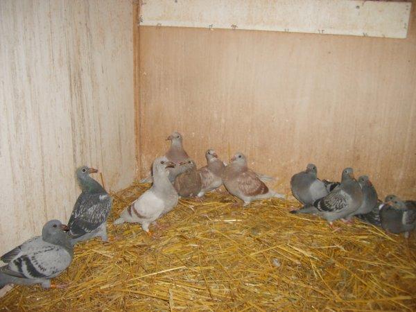 Jeunes pigeons 2014 issu de Jenssens