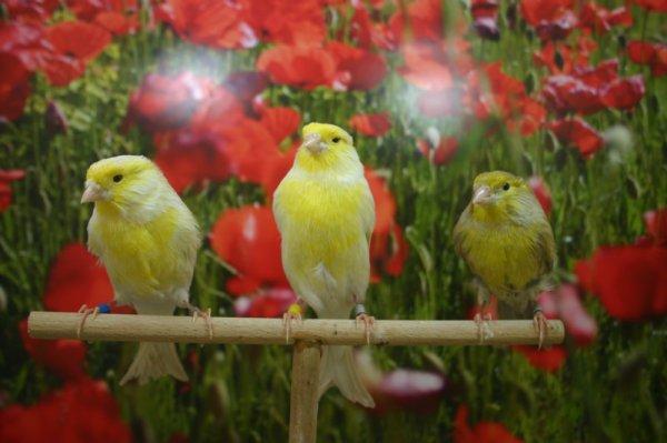 R1 isabela satiné amarillo mosaico, descendiente de verdecillo