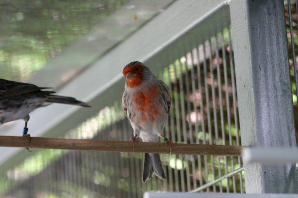 Canarios Ágata rojo mosaico 2011