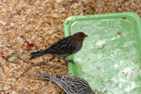 Canarios Negros rojo mosaico 2011