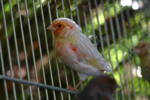 Canarios Ágata opal rojo mosaico 2011