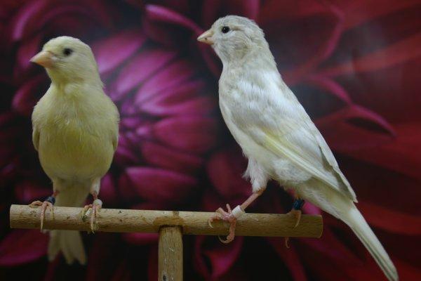Canarios doble diluidos del 2011