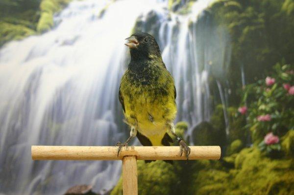 Hibrido de nagrito de Bolivia, macho rematando la muda