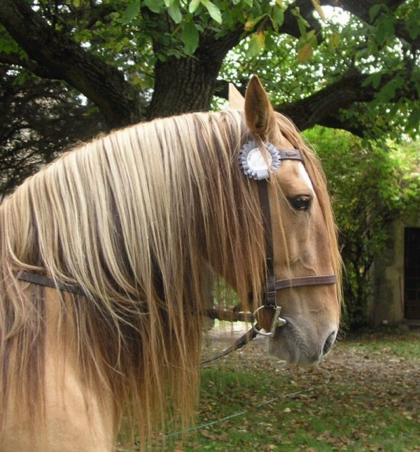 cheval de trait portugais