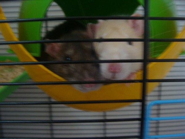 Mes Rattounettess!! <3<3