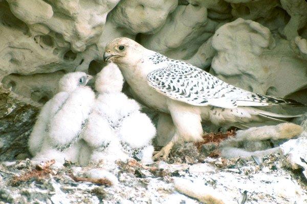 xFaucon Gerfaut - Falco rusticolus