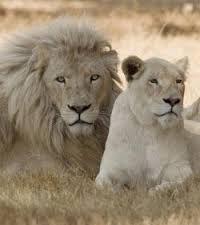 lion et lionne blanc