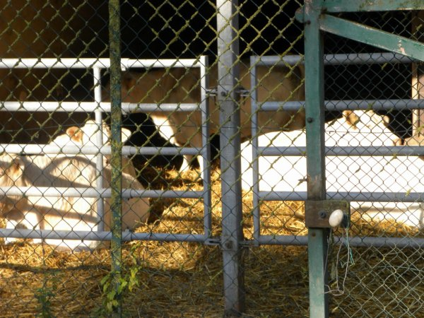 vache charolaise :)