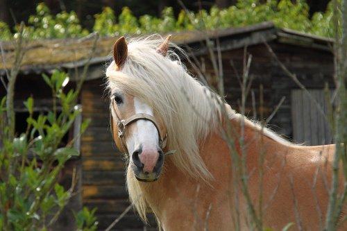 Portrait de mes chevaux ♥