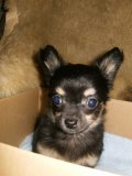 Photo de x-canaille-chihuahua-x