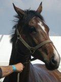 Photo de chevaux-vie-chanteur