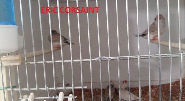 Mandarins COUPLES 2 les jeunes nées 20/21/22/23 mars 2016 SORTIE du nid