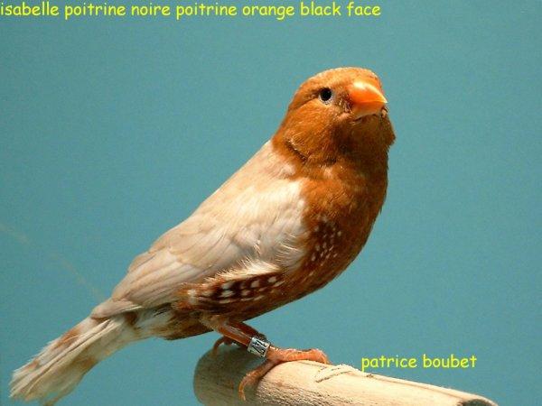 SABELLE POITRINE NOIRE POITRINE ORANGE BLACK FACE