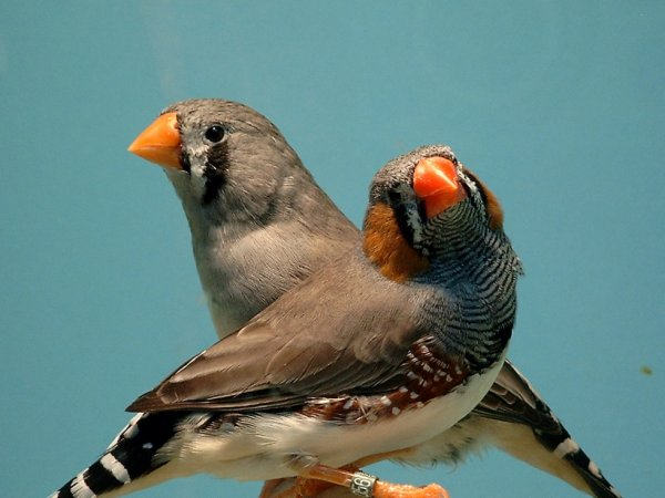 COUPLE MANDARIN GRIS