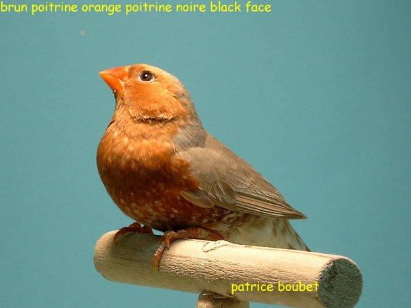 MANDARIN POITRINE ORANGE BLACK FACE