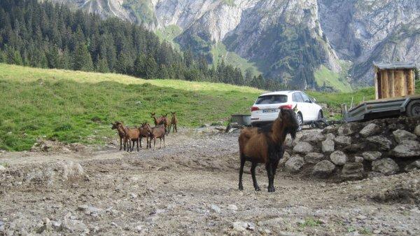 photos d'animaux, comme en Corse ils sont au milieu des routes ! ! ! !