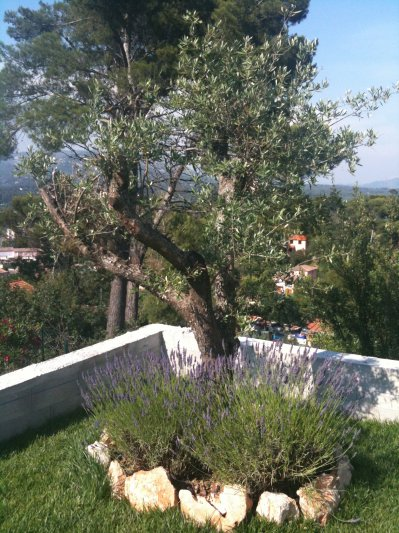 Plantation de lavande au pied de l 39 olivier blog de sandraphil - Psylle de l olivier ...