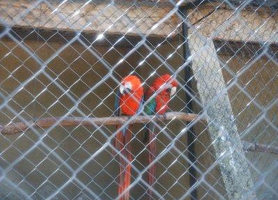 les perroquets du rocher des aigles