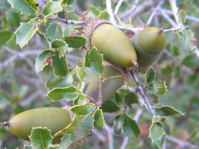 Le gland de nos Garrigues / le Chêne Kermes